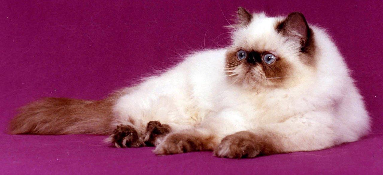 razze di gatto Himalayano
