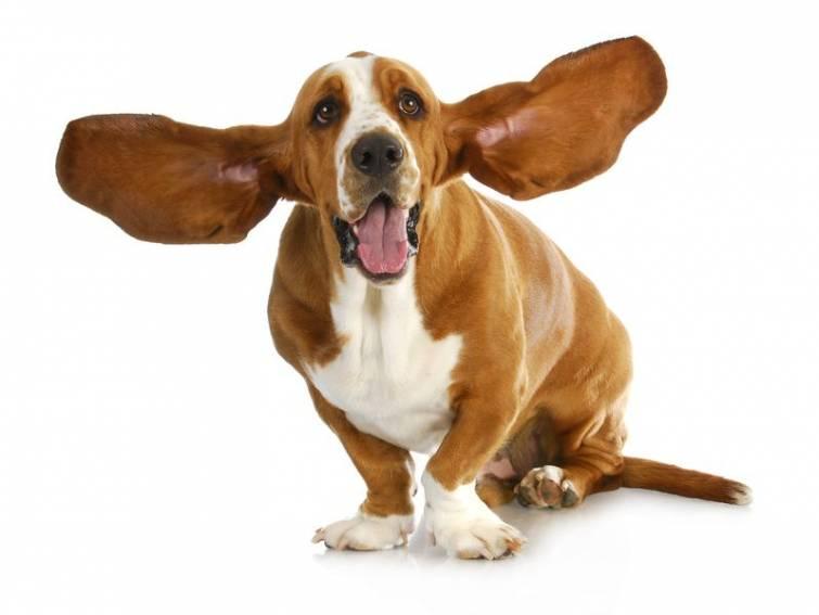 malattie dell'orecchio nei cani