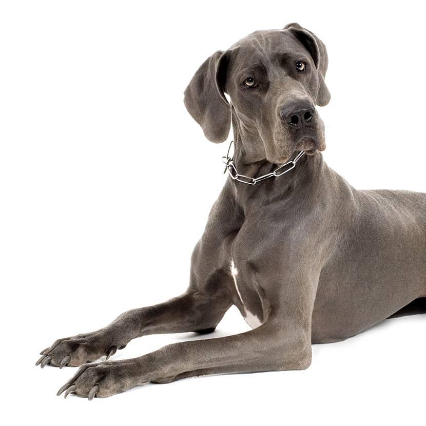 razze di cani cane alano alano blu alano fulvio