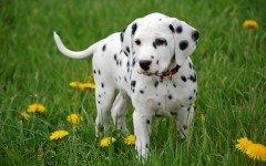 Razas de perros: Dálmatas