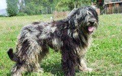 Razze cane: il cane Pastore Bergamasco carattere e prezzo