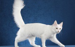 il gatto Angora Turco Razze feline Angora Turco Dogalize