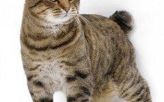 razze di gatti il gatto Bobtail Americano