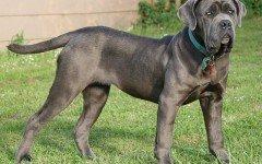 Razze cane: il cane Mastino Napoletano carattere e prezzo