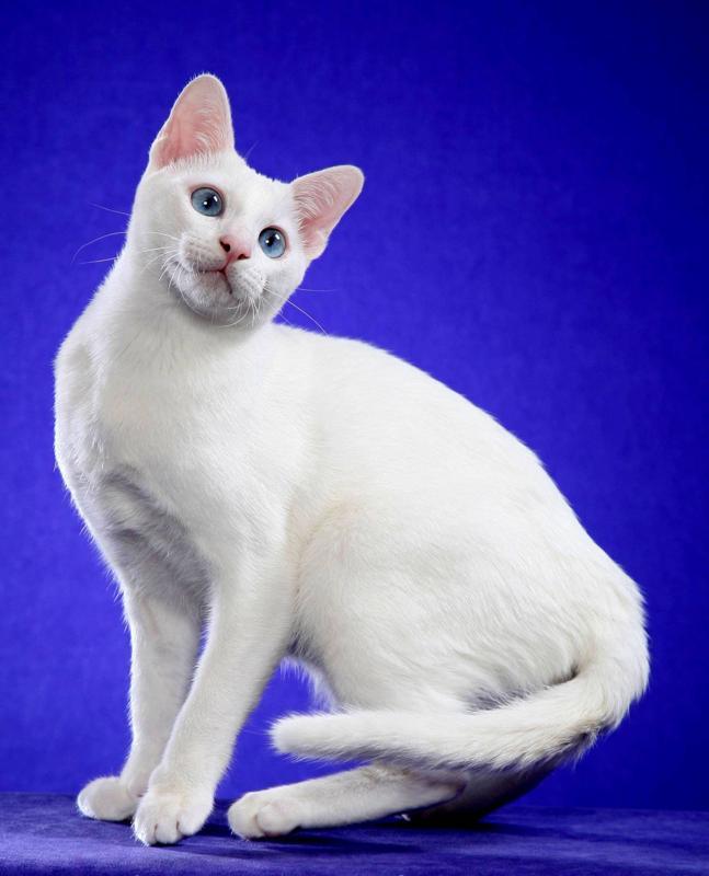 razze di gatti gatto Khao Manee