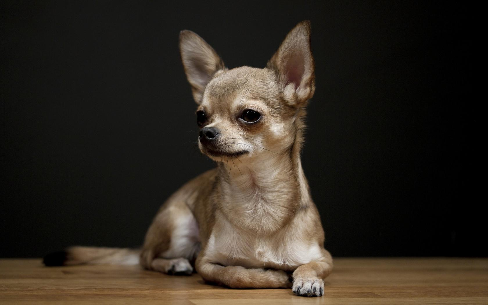 razze di cani cane Chihuahua