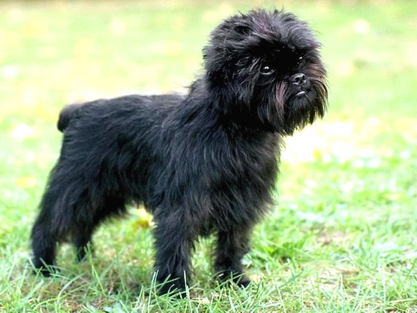 Dog breeds: Affenpinscher
