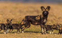Dog breeds: the African wild dog