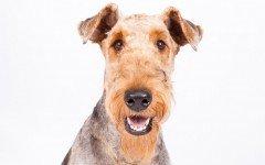 Razas de Perro: Airedale Terrie, perro Airedale Terrier