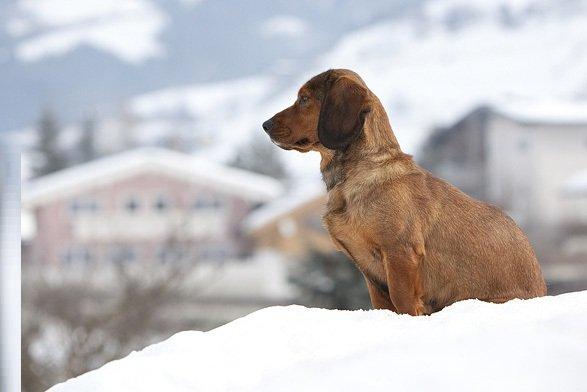 Razas de Perros: Basset Alpino