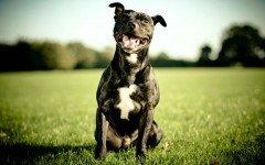 American Staffordshire Terrier la raza canina de fortaleza