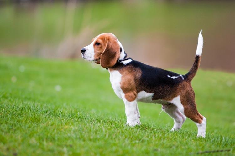 Razas de perros: Beagle caracteristicas y caracter