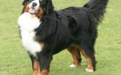 The majestic Bernese mountain dog