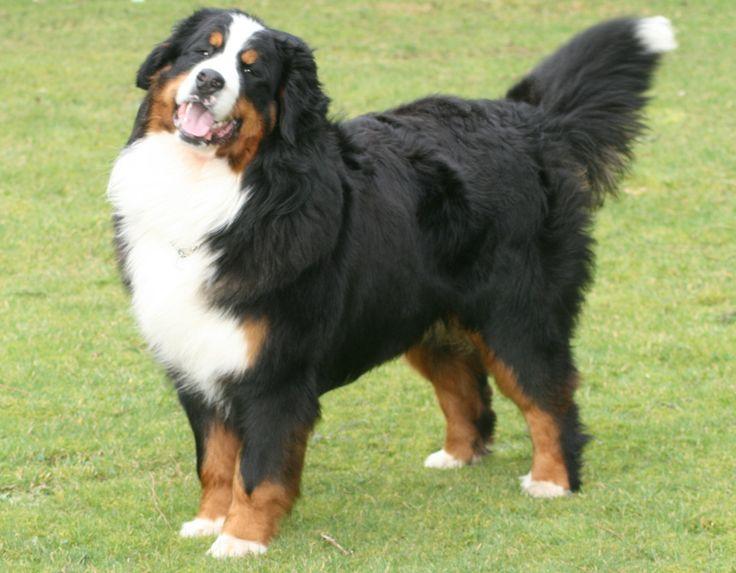 The majestic Bernese mountain dog