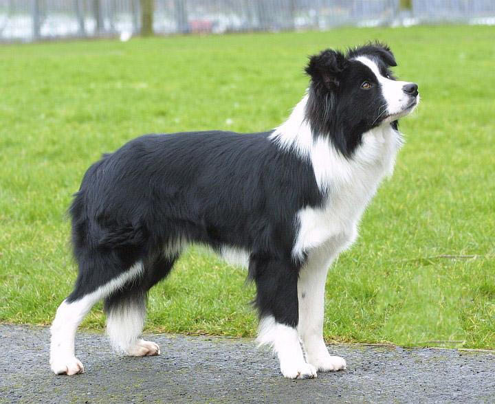 Border Collie razze di cani
