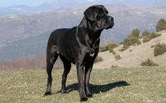 Razze di cani cane Corso
