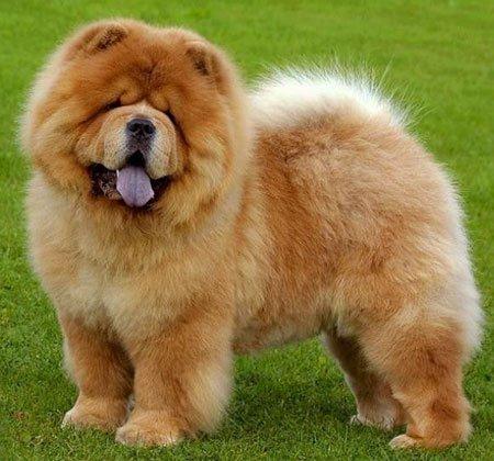 Razas de perros: Chow Chow caracteristicas y caracter