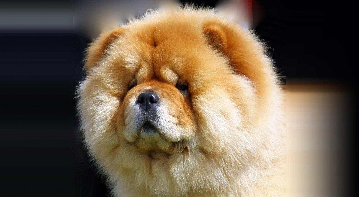 Razas de perros Chow Chow
