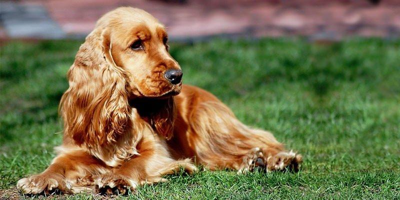 cane cocker spaniel razze cani