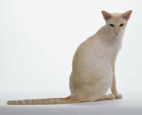 razze di gatti razze di gatto Colorpoint Shorthair