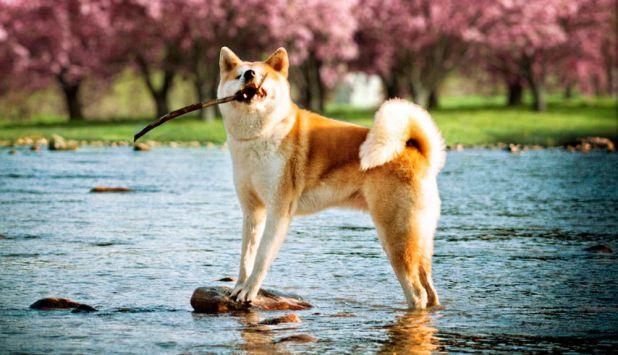 Razas de Perros: Akita japonés caracteristicas y caracter