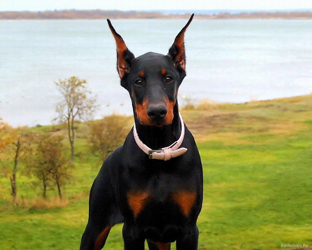 razza dobermann il cane dobermann razze cani