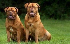 razza Dogue de Bordeaux cane Dogue de Bordeaux razze cani
