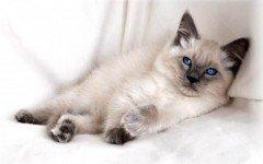 razze di gatti Gatto Balinese