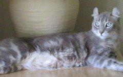 razze feline gatto Highlander