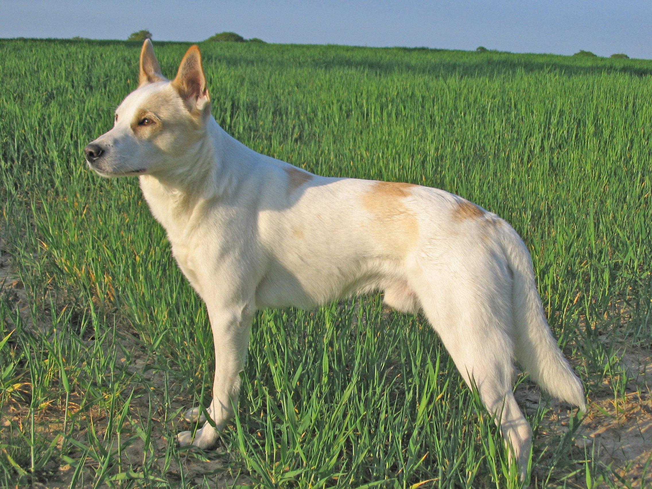 razze di cana canaan dog