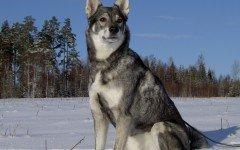 Razze cani: il cane Jamthund carattere e caratteristiche
