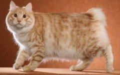 razze di gatti gatto Kurilian Bobtail