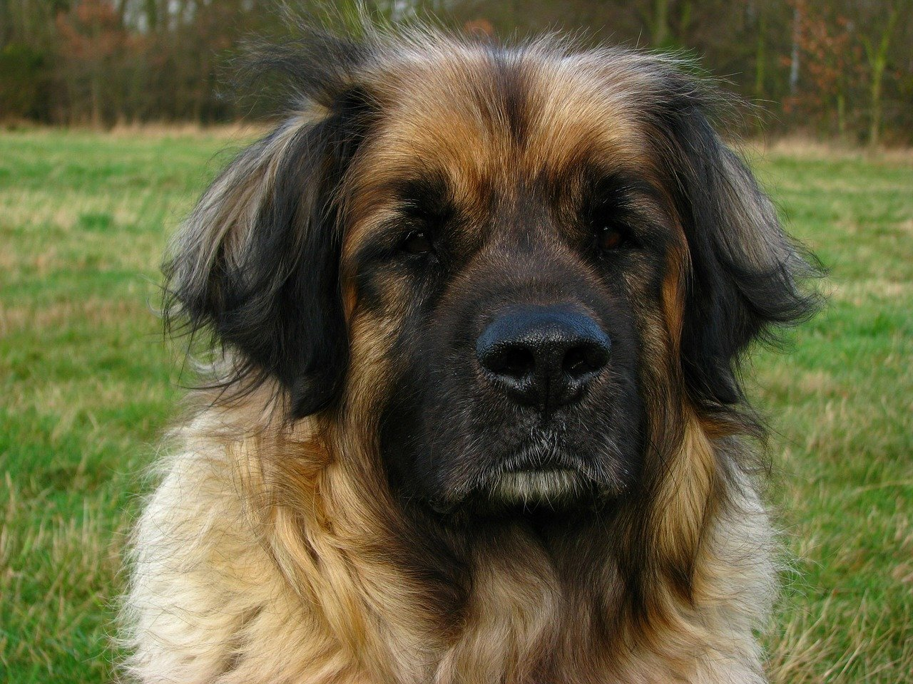 Razze cane: il cane Leonberger carattere e prezzo