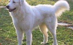Razze cani: il cane Pastore Maremmano carattere e prezzo