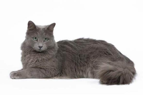 gatto Nebelung razze di gatti