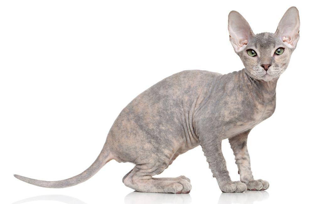 gatto Peterbald razze gatti