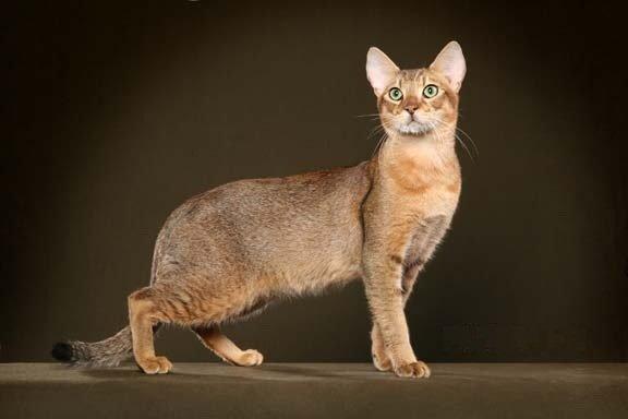 razze di gatti razze di gatto chausie