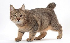 gatto Pixie bob razze di gatti