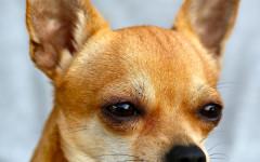 Razze cani Chihuahua