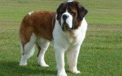cane san bernardo razze di cani