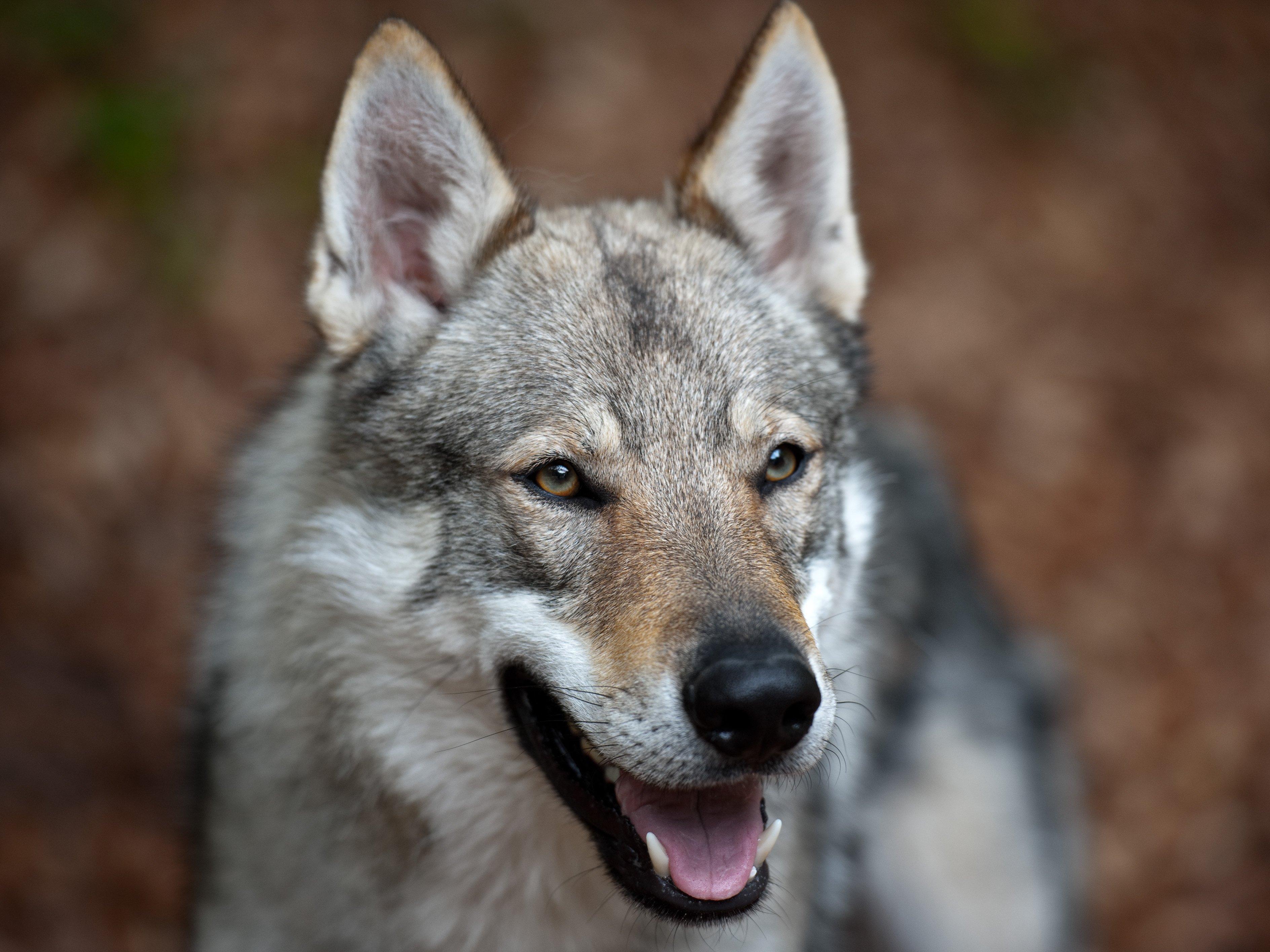 razze di cani Cane Lupo Cecoslovacco