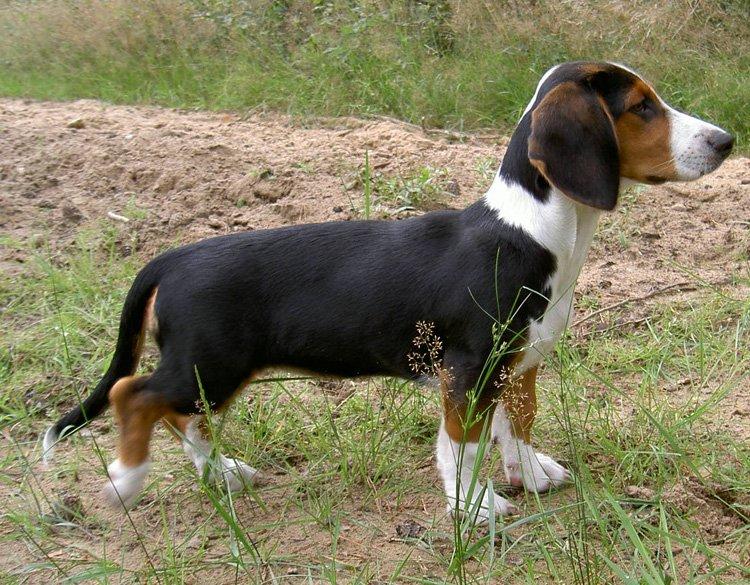 cane Dachsbracke razze cani