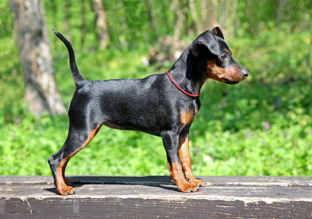 Pinscher miniatura: un perro todo terreno