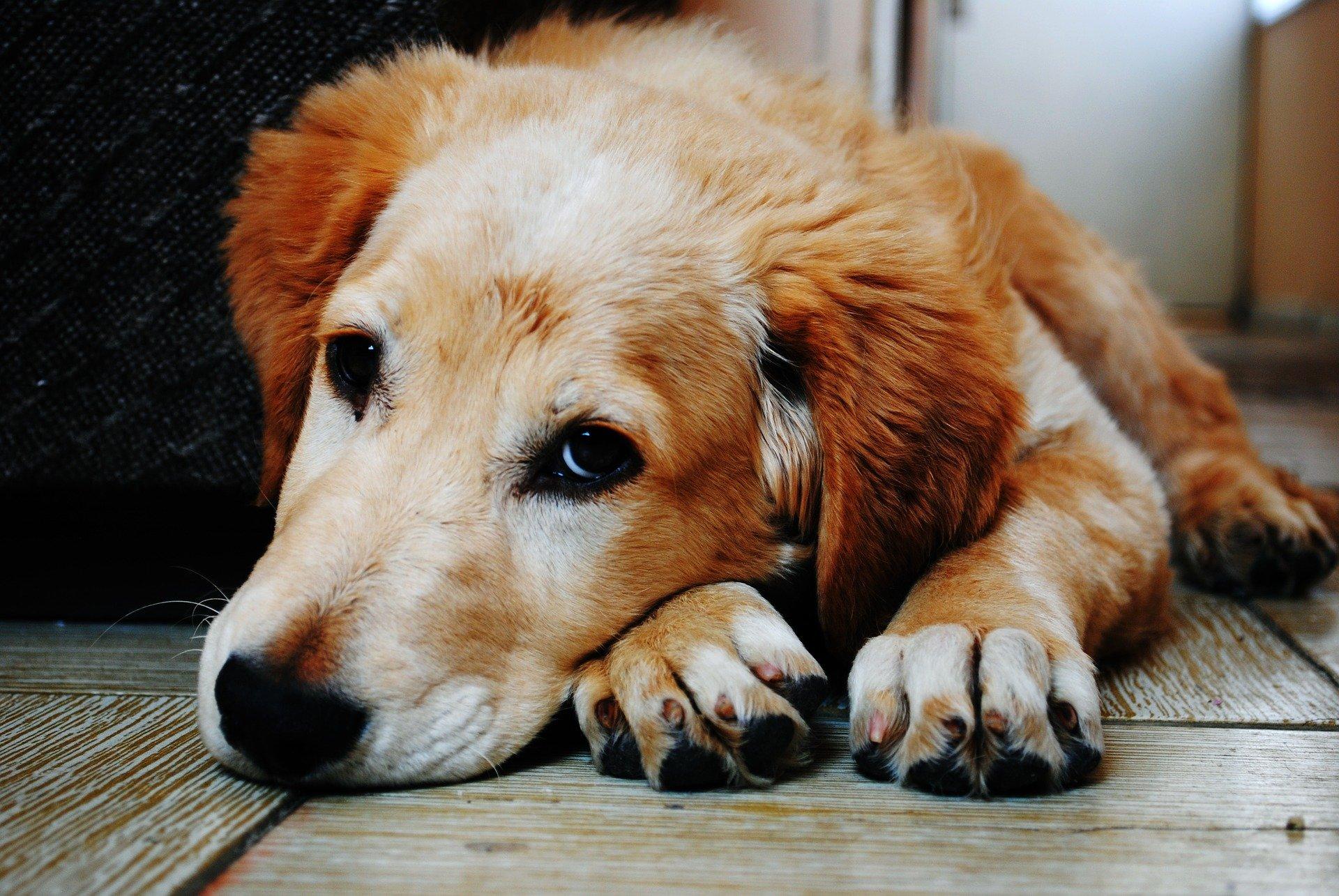 La meningite nel cane: sintomi e trattamento