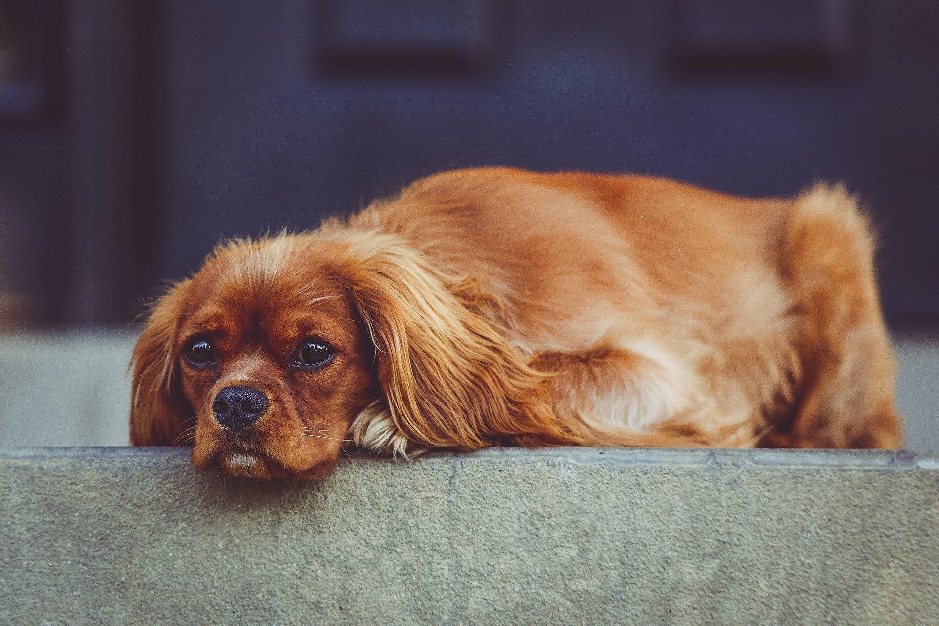 Le malattie cardiache dei cani: le varie patologie del cuore
