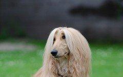 Razze cane: il cane Levriero Afgano carattere e prezzo