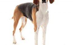 Razas de perros: Foxhound americano