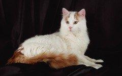 gatto Turco Van razze gatti