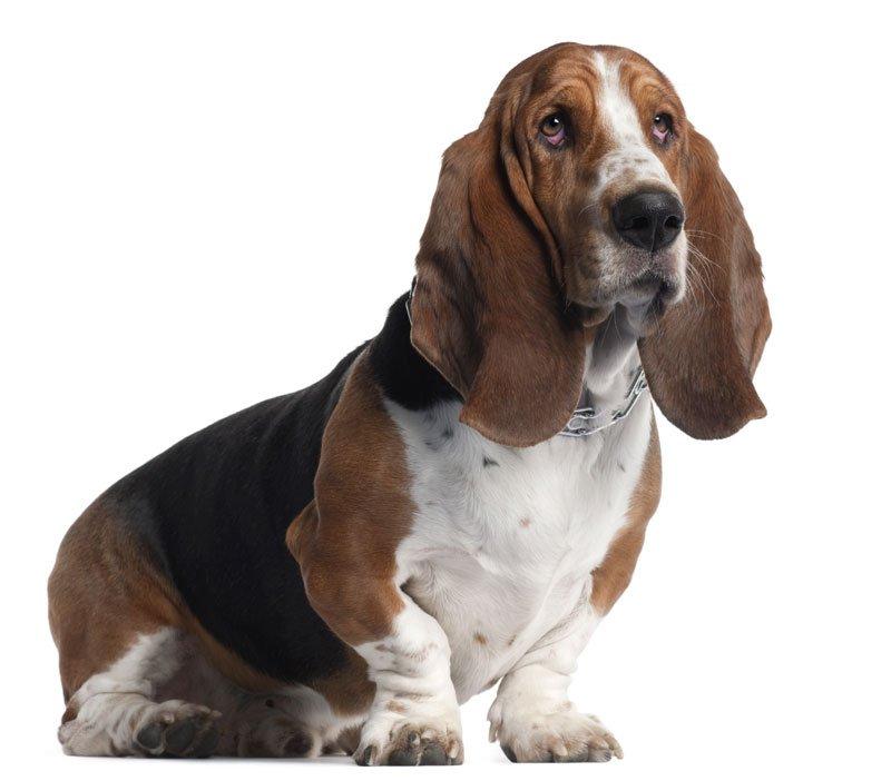 Basset Hound razze di cani BassetHound