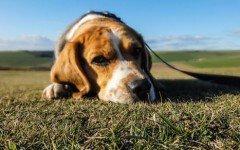 Beagle: un sabueso entre sabuesos